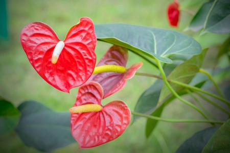 spadix: Beautiful spadix flowers in the garden.