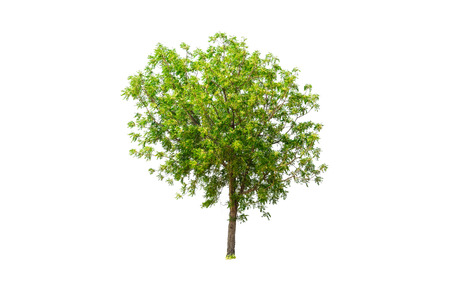 Tree isolated on white background with clipping path. Stock Photo