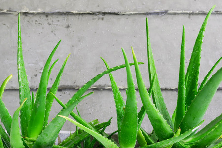 Closeup green leaves of aloe vera, It is a plant that has many benefits in medicine and beauty to be extracted into cosmetics as well as food or drink.