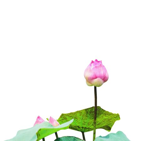 Lotus that is not yet bloomed with green leaves isolated on white background with  . 写真素材