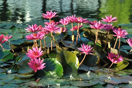 Lotus flowers blooming in the pool the morning of Chiang Mai photo