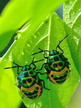 Colorful exotic beetles caught on the sauropus androgynus in the garden in the morning. photo