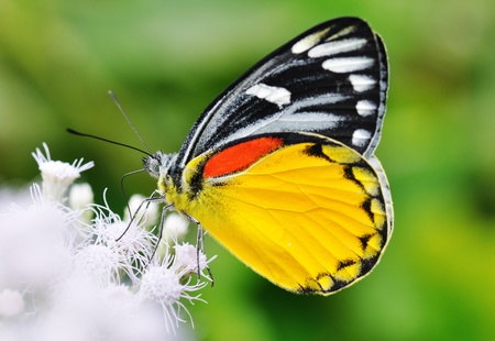 Butterfly caught on the flowers in the garden in the morning. Stock Photo