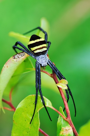 yellow-black spider on th leaves in garden,in the morning   photo