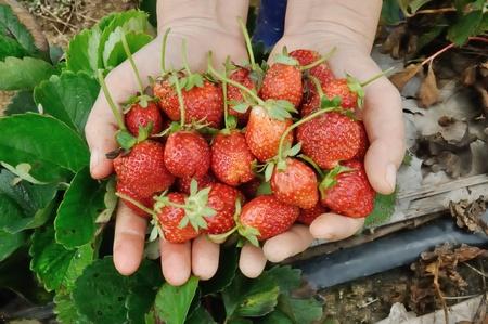 Strawberry farm at BanBokaew Samoeng Distric Chiangmai Thailand photo