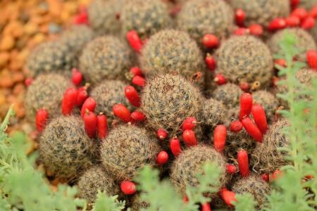 Mammillaria prolifera with seeds. Stock Photo - 17019243