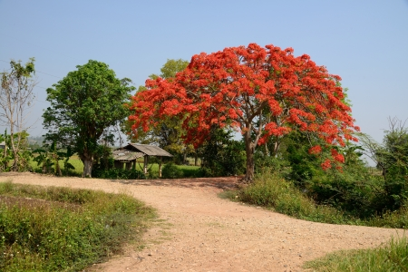flamboyant: Royal Poinciana Tree or Peacock flower in countryside.