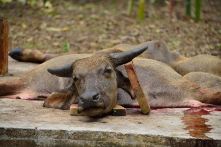 animal blood: Traditional killing water buffalo for Deva  grandfather Saehe  defend of the forest in ChiangMai,Thailand