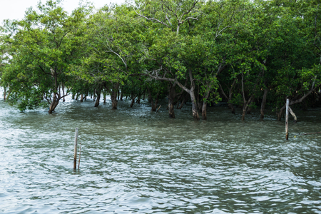 Massive mangrove forest at Don Hoi Lot, into sea waves,Samut Songkhram Province Thailand.