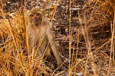 Wild Monkey still looking on yellow prairie photo
