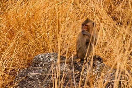 Wild Monkey with Yellow Prairie on the mountain photo