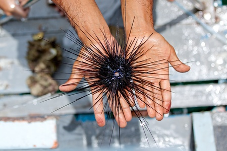 Long spined sea urchin on beach man hands Stock Photo - 13553478