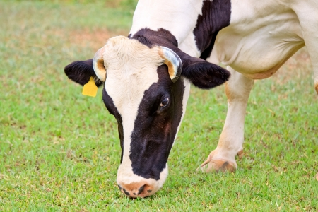 Dairy cattle on green grass in the farm photo