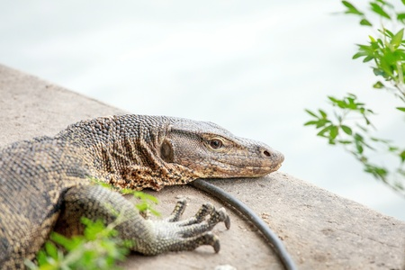 The Water monitor, (Varanus salvator) photo