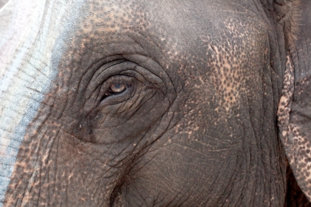 Asian elephant eyes are looking photo
