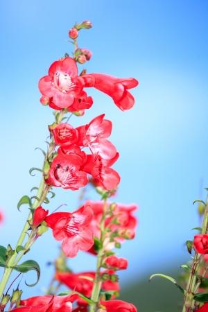 Snapdragon Flower on blue sky photo