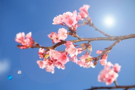 Prunus cerasoides flower in Chiangmai, Thailand