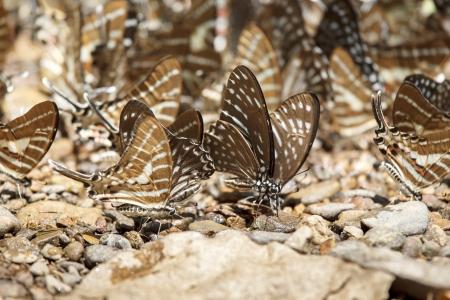 rajah: Black Rajah butterfly on the stone