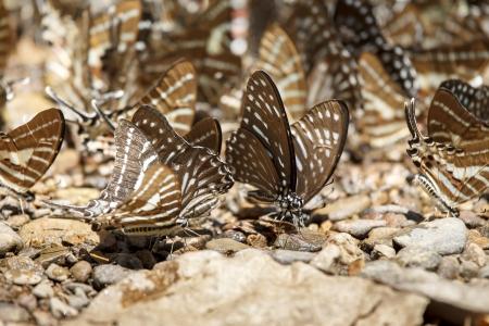 rajah: Negro mariposa Rajah en la piedra Foto de archivo