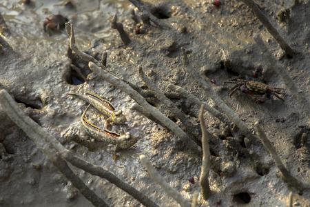 the amphibious: A Mudskipper, Amphibious fish