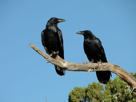 corax: A pair of Ravens along the Utah roadside Stock Photo