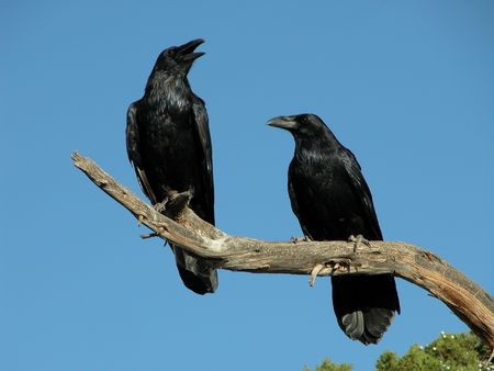 corax: A pair of Ravens on a dead branch