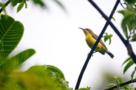 sunbird: Yellow-bellied Sunbird Stock Photo