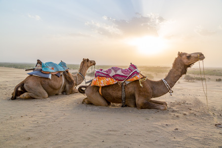 saddle camel: Camel in the desert at sunset in India