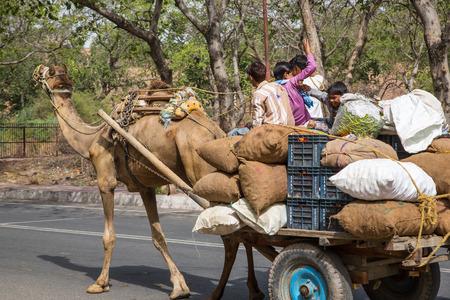 fatehpur sikri: Camel in Fatehpur Sikri, Rajasthan, India, Asia