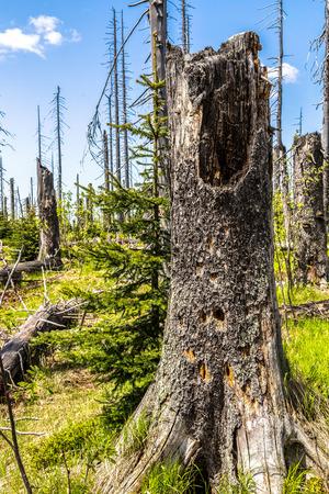 lluvia acida: Bosques que mueren en el bosque b�varo en el Lusen