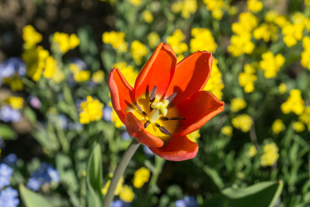 Yellow tulip in spring with stalk Stock Photo