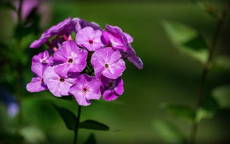 lila: Purple garden flower in summer