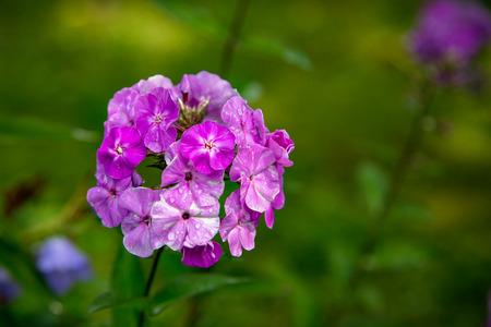 Purple garden flower in summer