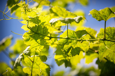 green wine leaves against a blue sky