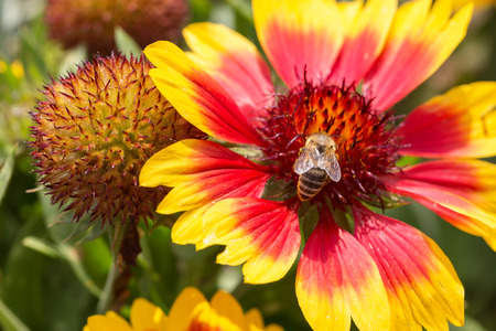 Bee nectar search on a flower