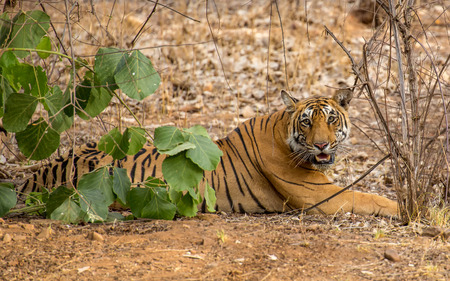 Wild royal bengal tiger in nature habitat of Ranthambhore National Park in India
