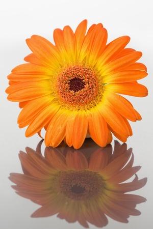 Close up of an orange gerbera on a mirror photo