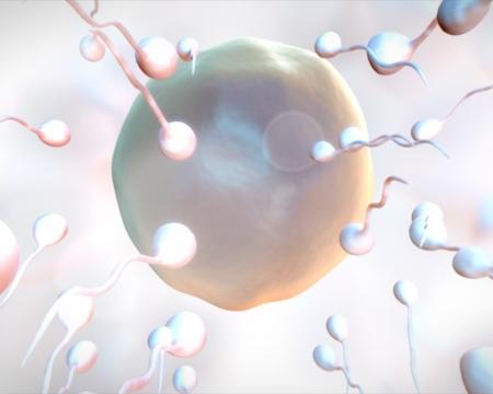 ovarios: Huevo sea fertilizado en el fondo whtie