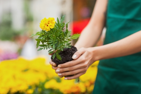 Assistant planting a flower in front of yellow plants in garden center photo