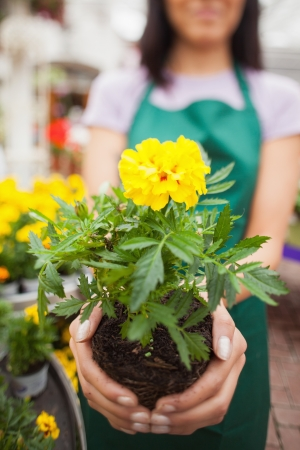 Woman who works in garden center showing a yellow flower  photo