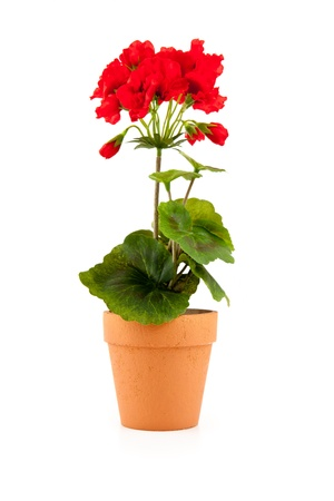 Flower in a pot against a white background photo