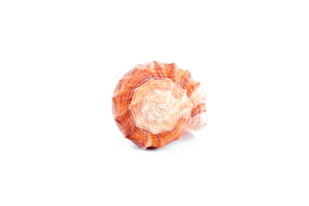 assemblage: One shellfish against a white background