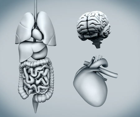 Diagram of human organs on white background Stock Photo - 26725557