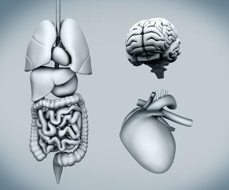 Diagram of human organs on white background Stock Photo - 26725557