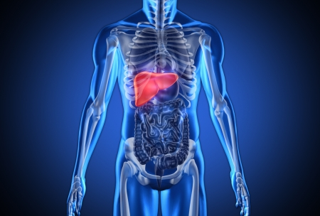 Digital blue human with highlighted liver on dark blue background photo