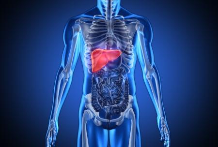 human liver: Digital blue human with highlighted liver on dark blue background