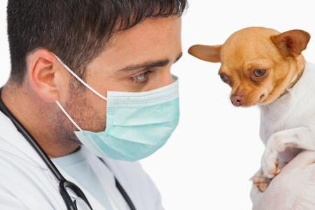 protective mask: Vet holding chihuahua and wearing protective mask on white background Stock Photo