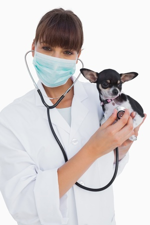 protective mask: Happy vet with protective mask holding a chihuahua on white background