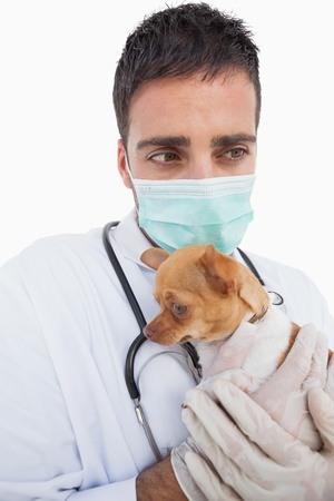 Worried male vet holding a sick chihuahua on white background photo