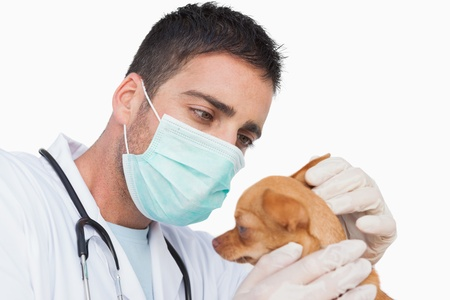 Male vet holding and examining the ear of a chihuahua on white background Stock Photo - 20563686